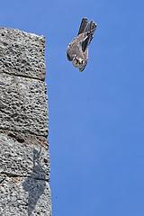 Downwards (FocusPocus Photography) Tags: bird animal birdofprey tier vogel downwards nosedive greifvogel sturzflug abwärts