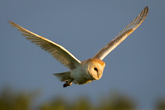 Graceful (jammo s) Tags: barnowl owl tytoalba birdinflight bif wildowl wildbarnowl birdofprey flying daylight daytime hunting nature wildlife canoneos80d canonef400mmf56lusm