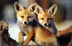 Wildlife in Israel - Baby foxes (jackfre2) Tags: israel wildlife haibarproject mountcarmelforestsite northernisrael forest animal animals babyfoxes