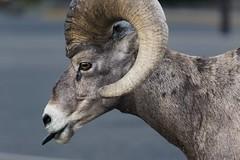 Bighorn Sheep 3 (Craig Tata) Tags: animals bighornsheep gnp glacier glaciernationalpark locations nationalparks nature sheep