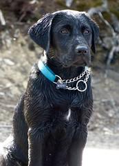 Wet Murphy (Product of Newfoundland) Tags: labradorretriever labrador labs dogs cottage cabin newfoundland canada