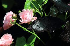 Buschrose in der Blutbuche (02) (Rdiger Stehn) Tags: 2016 2000er 2000s canoneos550d europa mitteleuropa deutschland germany norddeutschland schleswigholstein blten rosen buschrose strauch baum blutbuche buche bltter
