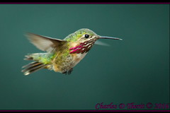 Welcome back Mr. Calliope! (ctofcsco) Tags: 11250 1d 1div 40 560mm bird black calliopehummingbird canon colorado coloradosprings ef400mmf28liiusm ef400mmf28liiusm14x eos1d eos1dmarkiv explore extender extender14x extender14xii extenderef14x extenderef14xii green hummingbird inflight iso3200 male mark4 markiv bokeh explored geo:lat=3893083779 geo:lon=10489145279 geotagged gleneyrie nature northamerica telephoto wildlife orange purple supertelephoto teleconverter unitedstates usa white animal outdoor bluesprucebokeh