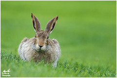 Jackrabbit in the Grass (Moe Ali Photography) Tags: wild cute rabbit bunny green grass animal outdoor wildlife ears alberta stare whitetail jackrabbit 400mm lowpov iso2000 canon7dmarkii canon100400ii moealiphotography
