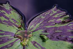 P7129327-Edit (Mark J. Stein) Tags: plant flower nature closeup longwoodgardens 2016 photobymarkjstein photobymarkstein