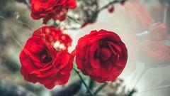 Augensterne (***toile filante***) Tags: flowers roses nature dof bokeh natur blumen imagination rosen illusions