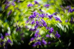Vertigo (moaan) Tags: lomographyzenitpetzval flower flowering flora duranta brazilianskyflower swirl bokeh kobe hyogo japan jp swirlingbokeh dof utata 2016 85mm f22 canoneos5dsr lomographyzenitpetzval85mmf22 summer july