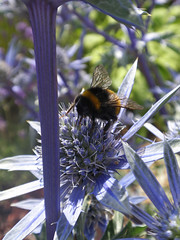 Eryngium and Bee (amandabhslater) Tags: flowers rose garden strawberry lavender aquilegia poppy achillea agapanthus campanula crocosmia phlox borage cirsium thyme gentian eryngium stipa filipendula helenium edelwiess silkweaversway