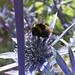 Eryngium and Bee