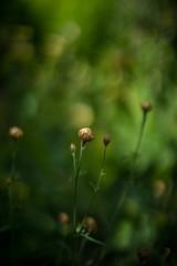 Buds (tonybill) Tags: flowers sunshine gardens bokeh july surrey loseleypark nikkor50mmf12ais sonya7