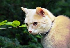 Momo Lino (Gitta Martin) Tags: katze momo brggen 41379 kater lino sonyalpha57 animal cat tier portrait sommer summer portrt hangover tomcat european domestic europische hauskatze