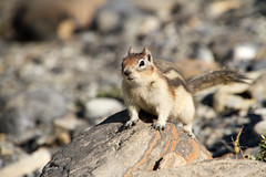 Here Comes the Ground Squirrel! (jpmckenna - Tenquille Lake Up Next) Tags: canada hiking mountrobson mountrobsonprovincialpark canadianrockies mtrobson bcparks goldenmantledgroundsquirrel hikingbritishcolumbia callospermophiluslateralis berglakebackpack getoutisde
