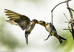 Feeding time.. (Modestus Lorence) Tags: birds feeding pacific swallow canon 5dsr 500mmf4isii 2xiiitc springleaf naturereserve singapore