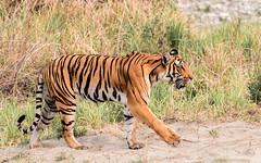 THE ROYAL WALK (NkPandey Fo2world) Tags: fo2world nkpandey nkpandeyfo2world junglebooknk corbetttigerreserve tiger wildlife nature natgeo