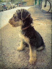 Lightroom-295 (Fin.Travel) Tags: lappeenranta southkarelia finland fi appleiphonese topaztextureeffects textureeffects puppy airedale terrier pepper dog