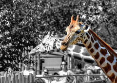 Giraffe - Selective Color (zendt66) Tags: photoshop zoo photo nikon assignment elements theme giraffe okc weekly hdr selectivecolor photomatix zendt d7200 zendt66 52weeks2016