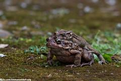 Amplexus (emmanueldufourq) Tags: canon canon70d 70d 100mm ef100mm macro frog mating