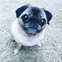 Food please (mrslouisesmith) Tags: pug