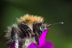 Solitary Bee  [Explore] (Eskling) Tags: macro nikon mining 150 bee solitary andrena raynox d3200 dcr150
