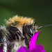 Solitary Bee  [Explore]
