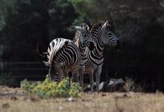 Le Zebre (Bloody Nick) Tags: zebra brioni istria croazia