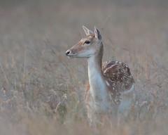 Fallow Deer doe (Hammerchewer) Tags: fallowdeer deer doe wildlife outdoor