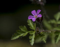 Si fragile ...! (Elyane11) Tags: fleur rose jardin goutelettes