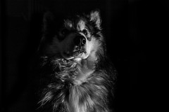 Malamute in B&W (vadenet) Tags: malamute alaskan dog