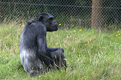Chimp time (vic_sf49) Tags: vicsf49 uk england dorset monkeyworld cronin