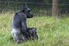 Chimp time (vic_sf49) Tags: vicsf49 uk england dorset monkeyworld cronin
