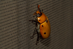 Grape Vine Beetle on Screen (brucetopher) Tags: grapevine beetle bugorangeporchlightporchlight bugporch lightinsectlightmoth flameinsectsbugsbugredflowersflowered shirtfashionnature fashionnatures artnatures compositionfound artartmacrocanoncanon 100mm lbig bug big beetles scarab spotted spots spot critter creature