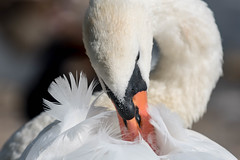 Mute Swan  |  Hckerschwan (abritinquint Natural Photography) Tags: bird vogel natural wildlife nature wild nikon d750 telephoto 300mm pf f4 300mmf4 nikkor pfedvr swan mute muteswan hockerschwan