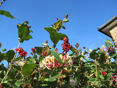 Monday, 15th, Feast for the birds IMG_4079 (tomylees) Tags: essex morning summer august 15th monday 2016 red berries garden honeysuckle