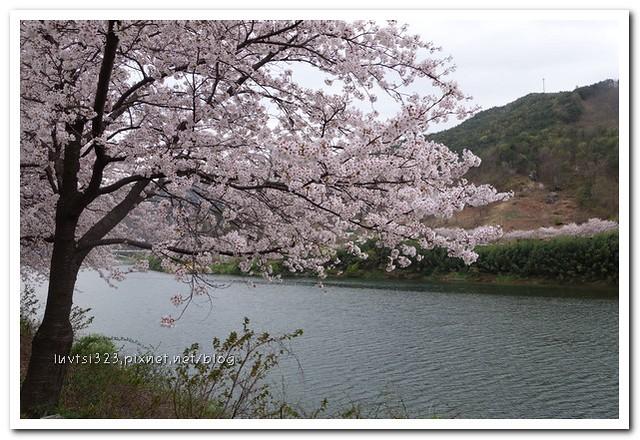 화개십리벚꽃길08