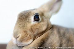IMG_4638-1 (Rabbit's Album) Tags: pets cute rabbit bunny animals  choco   minirex  ef50mmf18   canonx7i x7i