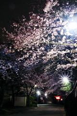 DSCF6510__r (julajp (A while busy)) Tags: lighting moon night cherry blossom led  cherryblossom fujifilm kanagawa atsugi     xa1 mutuai