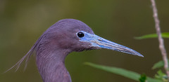 "Little Blue Heron Profile (kevinm66 (aka ""The Bird Whisperer"")) Tags: kevinmahoney 7dmkii trackheadstudios kevinm66 kdawgraphyphotolabs"
