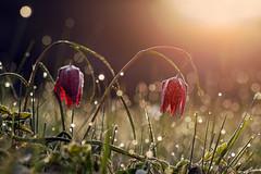 Fritillaria Meleagris (mattrkeyworth) Tags: zeiss germany deutschland bokeh dew tau fritillariameleagris schachbrettblume schachblume chequeredlily sal135f18z sinntal obersinn chessflower sonnart18135 laea3 sonya7r
