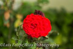(Lipi2334) Tags: flowers parque red orange naturaleza flores peru nature yellow rojo colours purple lima colores amarillo naranja kennedy miraflores belleza morado seleccionar