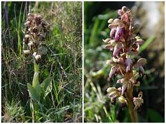 Fleurs du massif de Montgri  (Catalogne) (PierreG_09) Tags: orchid orquidea espagne lescala flore orchide emporda montgri catalogne orchidace himantoglossumrobertianum