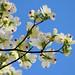 Flowering Dogwood (Cornus Florida) in Blue Sky : 青空にハナミズキ(花水木)