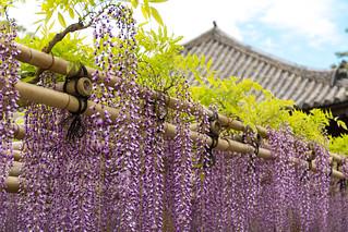藤 - 平等院 / Byodo-in Temple