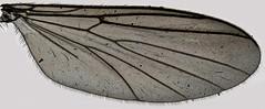 Saignsuia flaviventris, Trawscoed, North Wales, June 2014 2 (janetgraham84) Tags: flaviventris mycetophilidae saignsuia