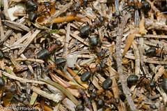 BWI3 2012_05_78_11. Mai 2012 (wilfriedpförtsch) Tags: umwelt formicarufa rotewaldameise hautfluegler insektspinne bwi3 ultratagproc20062013coolcolours ultratagpro401de reichdertiere