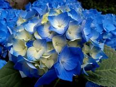 Crema e cielo e cielo e crema e cielo e cielo e cielo (Aellevì) Tags: ortensia azzurro fioreprimaverile papà festadelpapà aellevì hydrangea blu blue creamandsky gelato gusto gusti cream ortensie