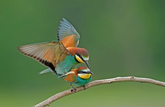 European Bee-eater: Merops apiaster (renzodionigi) Tags: