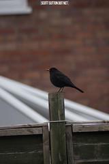 Blackbird on a fence