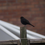 Blackbird on a fence