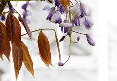 Trust Wysteria (shawn~white) Tags: plant flower wales garden place unitedkingdom nationaltrust ciliauaeron shawnwhite macroflowerlovers llanachaeron shawnraisindp wysterea