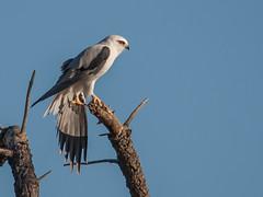black-shouldered kite (Elanus axillaris)-1062 (rawshorty) Tags: birds australia canberra act jerrabomberrawetlands rawshorty